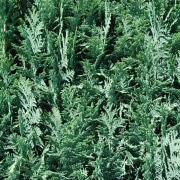 Saulenzypresse