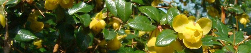 Informelle immergrüne Heckenpflanzen