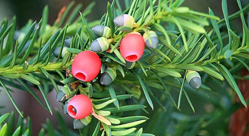 Andere immergrüne Heckenpflanzen