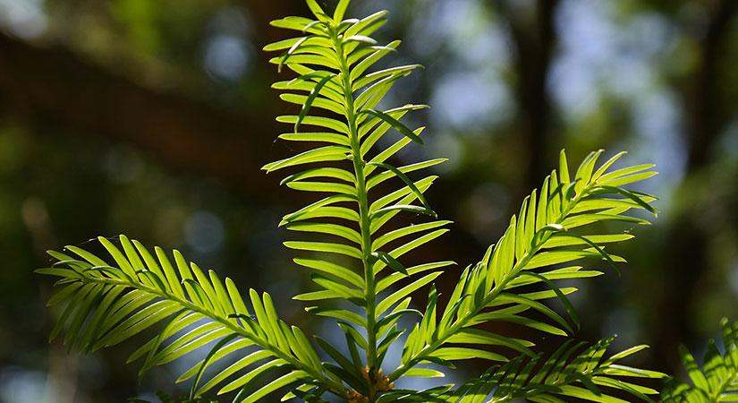 Eibenhecke pflanzen und pflegen