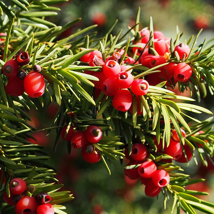 Fruchtende Becher-Eibe (auf Lateinisch: Taxus media 'Hicksii')