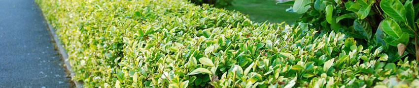 halb-immergrüne Heckenpflanzen