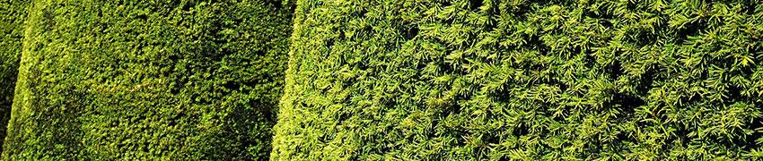 Immergrüne privatgeschützte Hecken