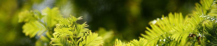 Nachhaltige Eiben