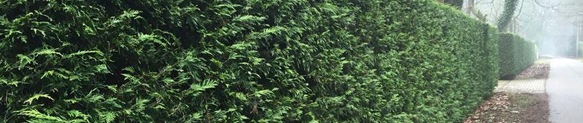 Schnelles Wachstum  Lebensbaum